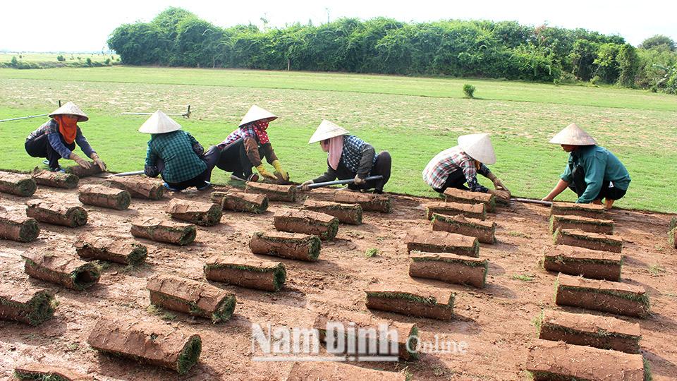 Thành viên Tổ hợp tác trồng cỏ Nhật, xã Nam Thắng thu hoạch sản phẩm.